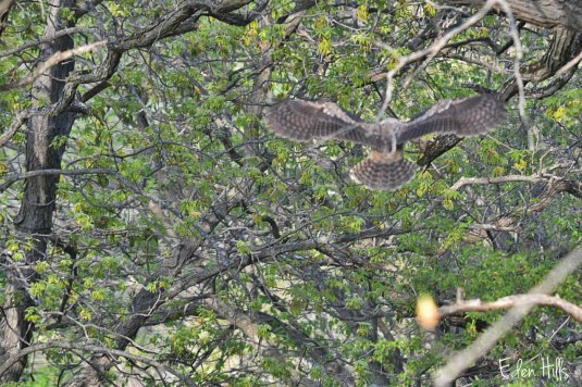 great horned owlet flying
