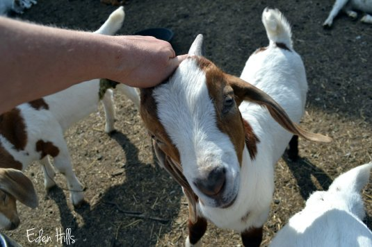 scratching goat kid
