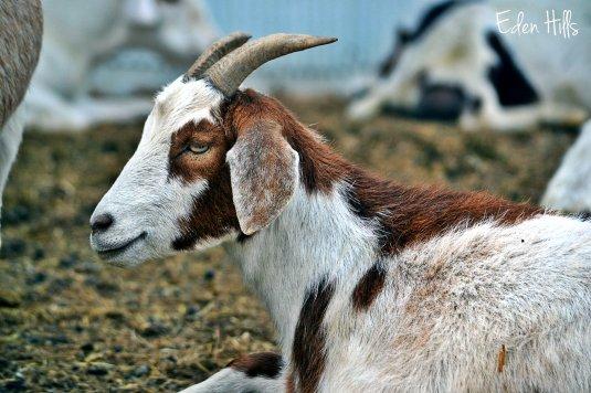 doe goat