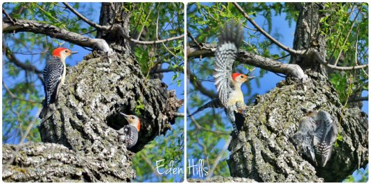 Red Bellied Woodpecker fight