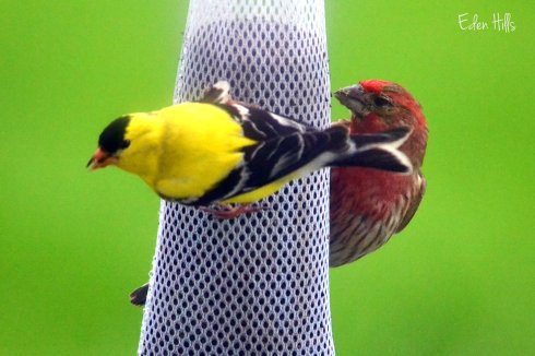 goldfinch and house finch