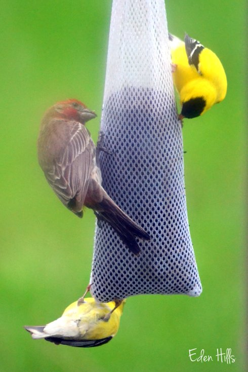 goldfinches and house finch