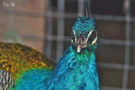 blue India peacock