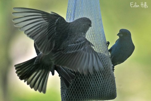 indigo bunting and house finch
