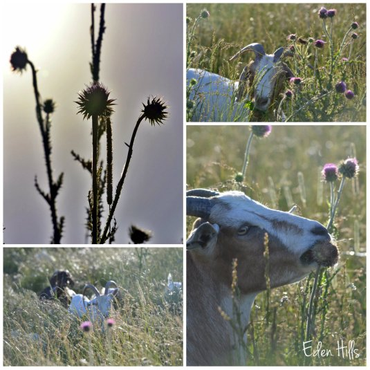 goat thistle collage