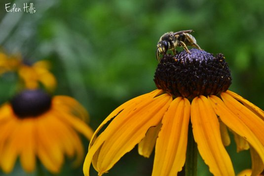 black-eyed Susan and bee