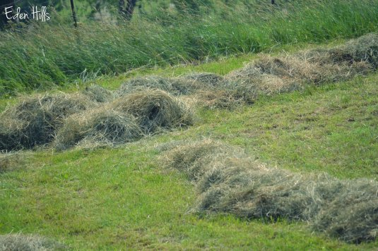 hay in windrows