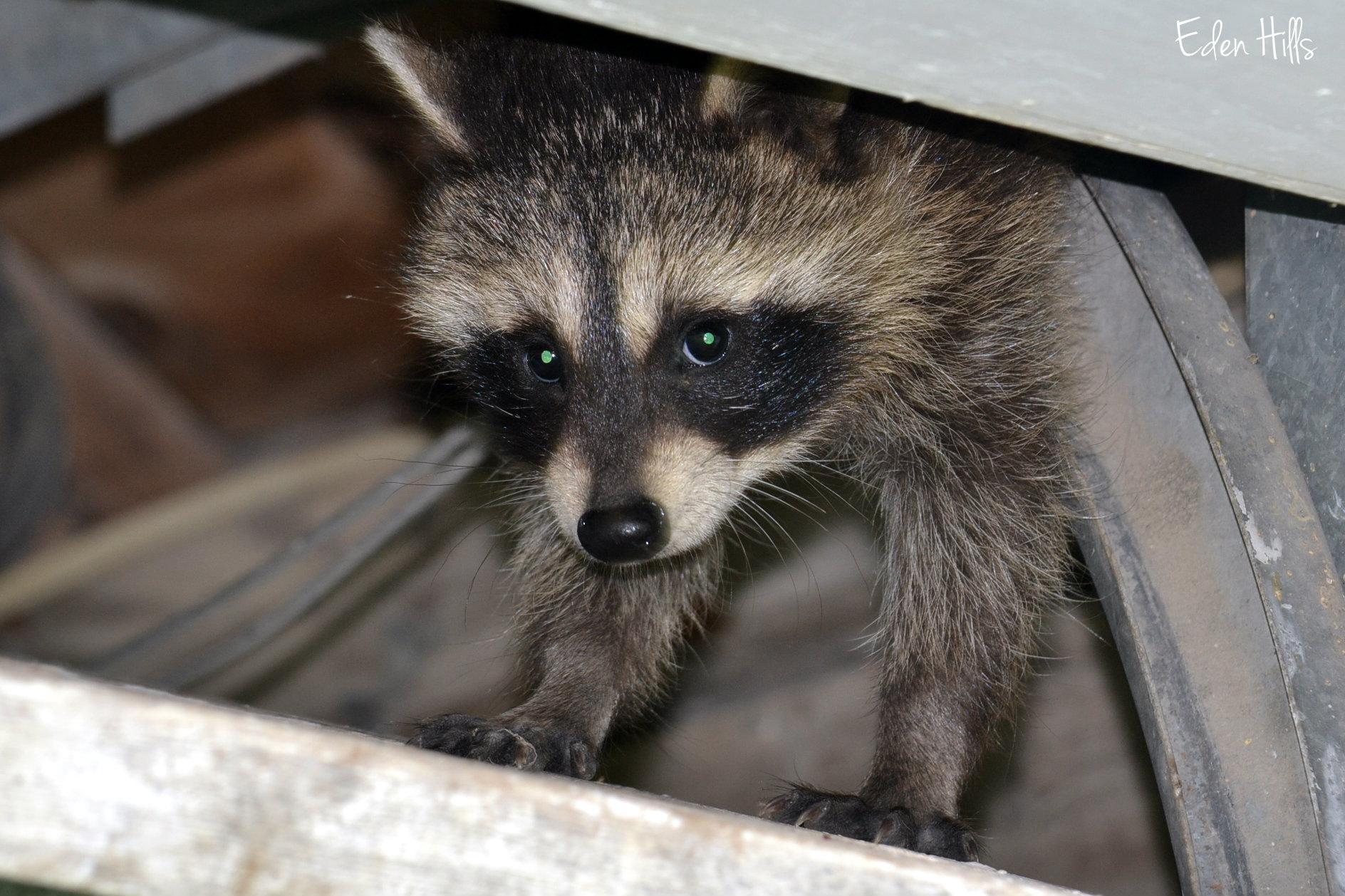 Dsc Ew Raccoon Face Side