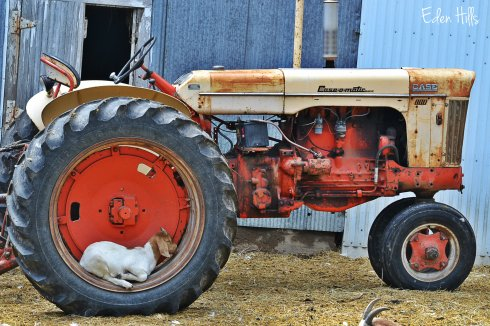 goat kid on case tractor