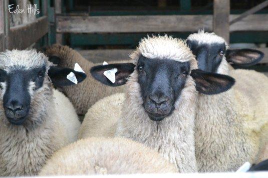 sheep at sale barn