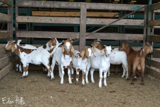 goats at sale barn