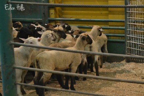 sheep in auction ring