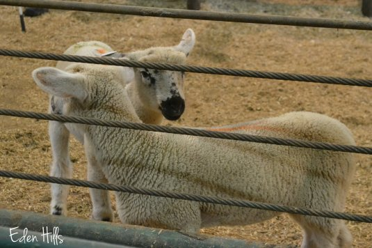 sheep in ring