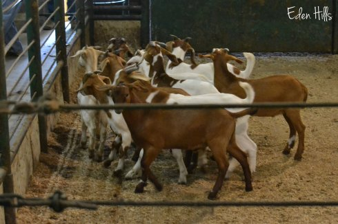 goats in sale barn ring