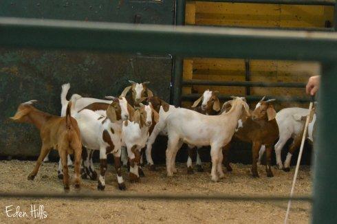 goat kids at sale barn