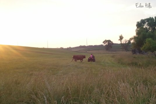 cow following four-wheeler
