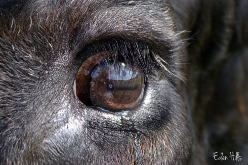the world reflected in a steer's eye