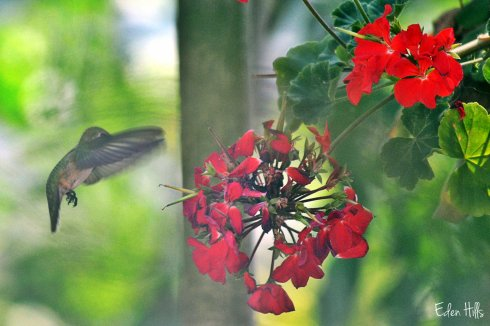 hummingbird and geranium