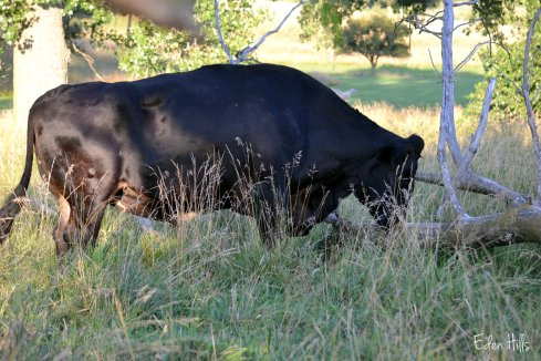 giant steer in pasture