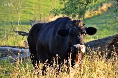 old steer in pasture
