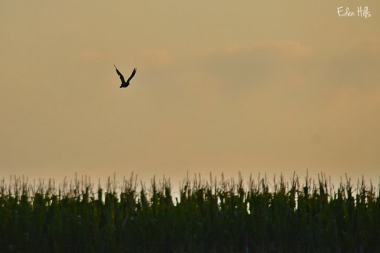 killdeer silhouette