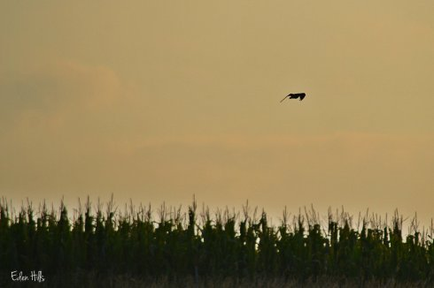 killdeer over cornfield