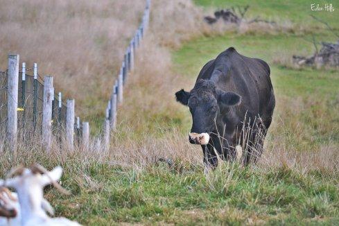 old steer