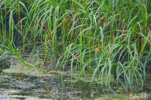 bird at marsh