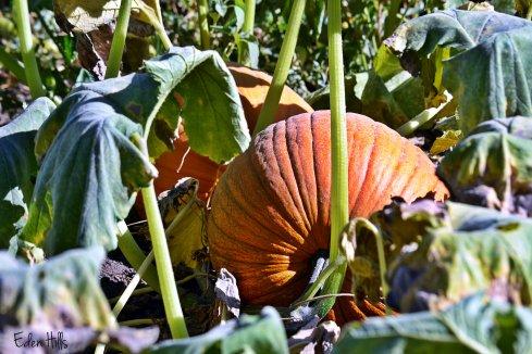 pumpkins in garden