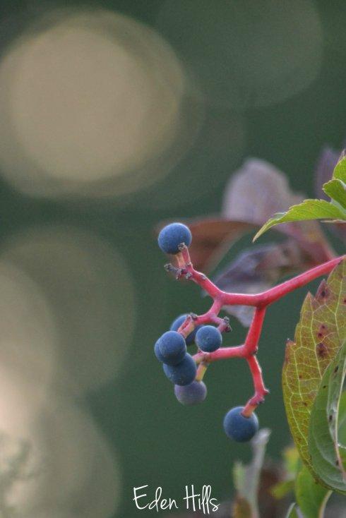 wild grape bokeh