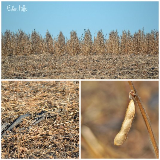 soybean field collage
