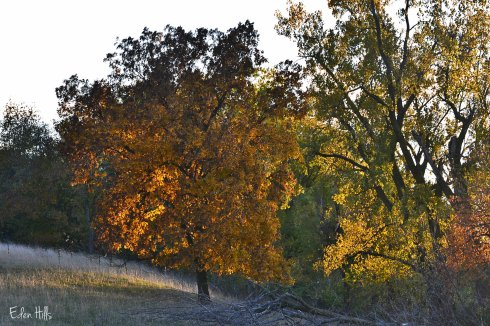 hickory nut tree in fall