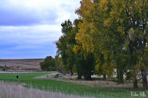 steer in fall pasture