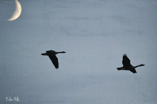 Canada geese by moon