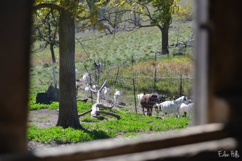 goats coming up from pasture