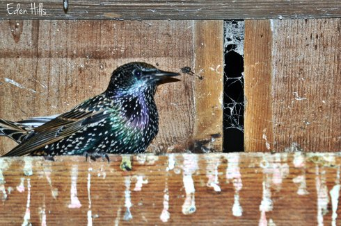 starling in barn