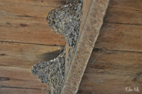 empty barn swallow nests