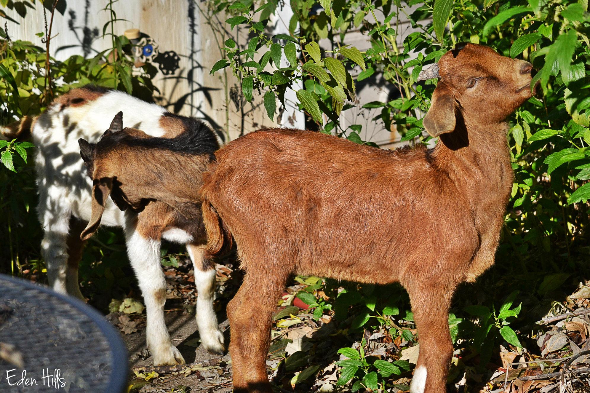 Yard Goats | Eden Hills
