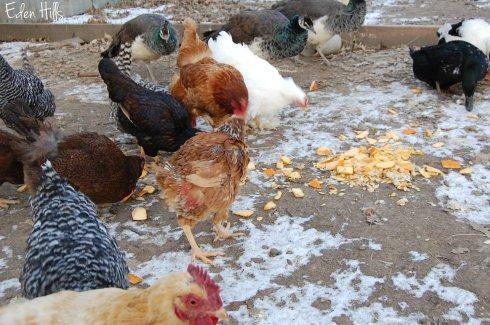 chickens eating pumpkin