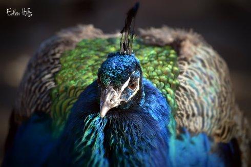 blue India peafowl