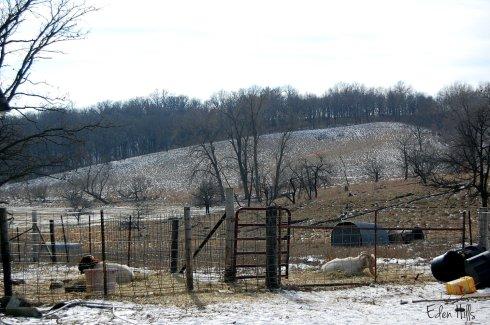 bucks in pasture