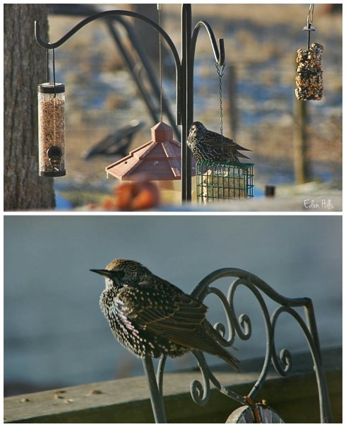 Grackle collage