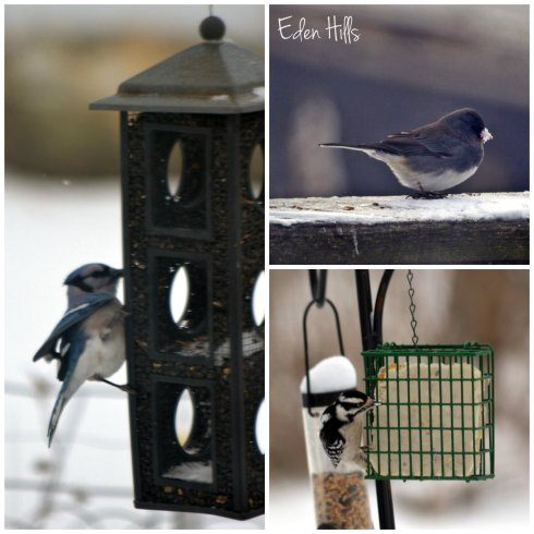 blue jay, junco, and downey woodpecker