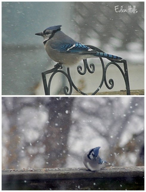 blue jay collage w