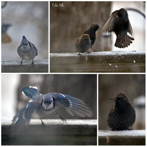 blue jay starling collage