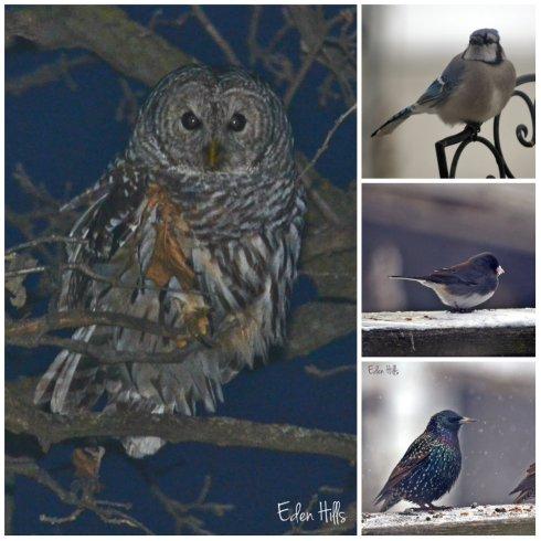 Barred owl, blue jay, junco, starlings