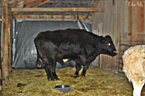 giant steer in barn
