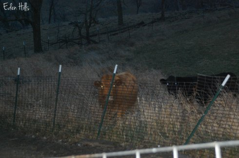 cow and heifer behind fence