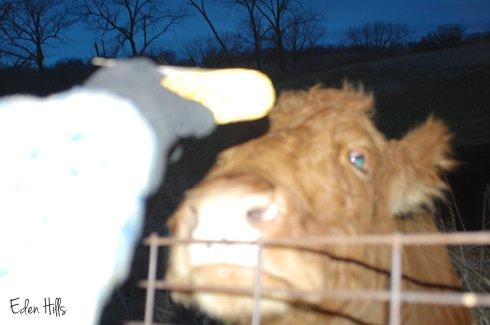 cow eating corn