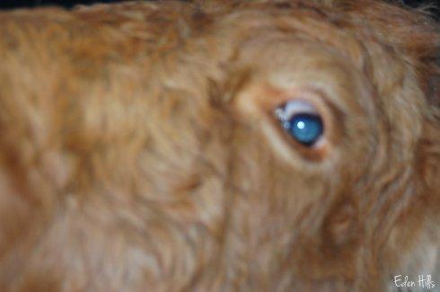 fuzzy cow face